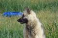 Qeqertarsuaq: Schlittenhund