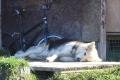 Pond Inlet: Schlittenhund