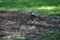 Charleston: Eichhörnchen