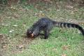 Iguazu: Nasenbär