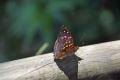 Iguazu: Schmetterling