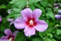 Sochi: Blume an den Schwefelquellen Mazesta
