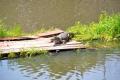 Manaus: Alligator