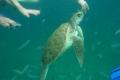 Barbados: Wasserschildkröten