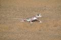 Wüste Namib: Schwimmfußgecko