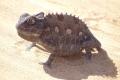 Wüste Namib: Chamäleon
