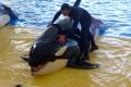 Loro Parque - Orca Show