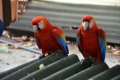Île Royale: Papageien