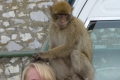Affen auf Gibraltar