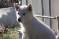 Kangerlussuaq: Schlittenhunde