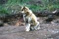Schlittenhund in Siorapaluk