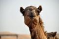 Abu Dhabi: Kamelfarm