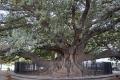 Buenos Aires: Uralter Baum vor dem Friedhof von Recoleta