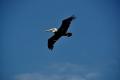 Port Canaveral: Pelikan im Flug