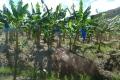 St. Lucia · Bananenplantage
