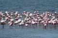 Flamingos in der Lagune von Walfischbai