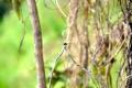 Santarém: Libelle