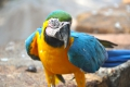 Île Royale: Papagei