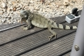 Bonaire · Leguan